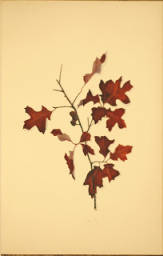 Scrub Oak. Autumnal Leaves by Ellen Robbins. Page 9.
