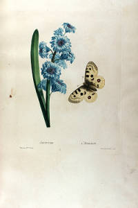 Hyacinth. Etudes de fleurs et de fruits by Henriette Antionette Vincent. Page 14.