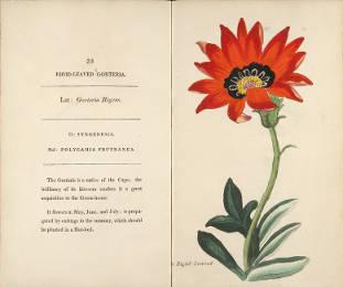 Rigid-Leaved Gorteria. Henrietta Maria Moriarty. Page 31.