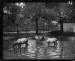 Nilgais in pool of water in their enclosure.