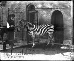 Man in bowler hat and moustache and zebra