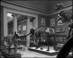 Hall 35 Mastodon skeleton, Hadrosaur Late Cretaceous and other dinosaur
