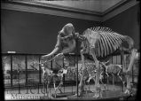 Paleo skeletons, mastodon or elephant skeleton, Irish Elk.