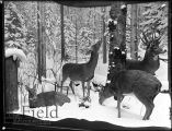 Winter, White Tailed. Four Seasons of the Deer diorama