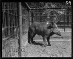 Wild boar in a fenced enclosure